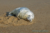 Grey Seal Pup, Horsey