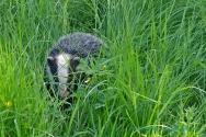 Badger nr Meathop