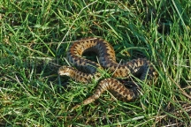 Adder nr Mayland Creek