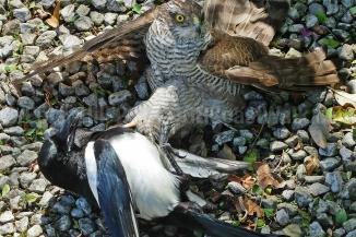 Sparrowhawk + Magpie