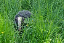 Badger nr Meathop