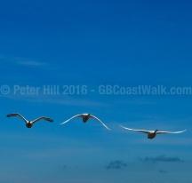 Swans, Irvine